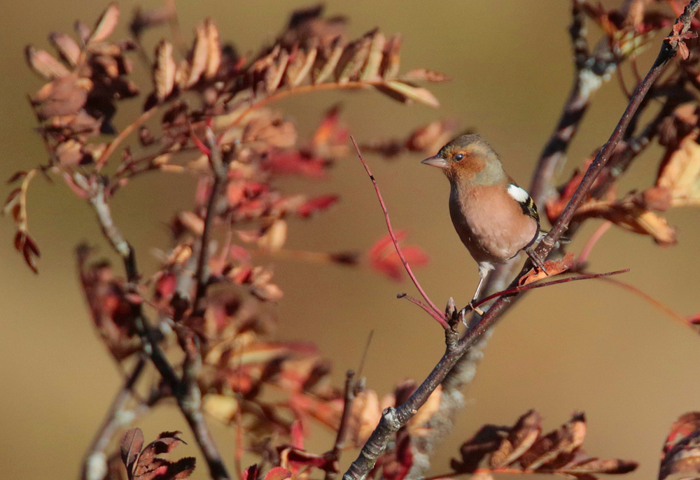 Pinson des arbres mâle (Fringilla coelebs)