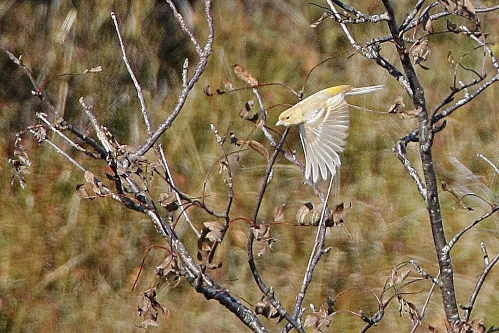 Pinson des arbres isabelle (Fringilla coelebs)