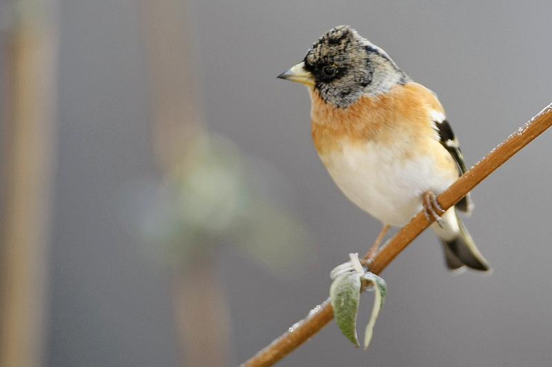 Pinson du nord male  (Fringilla montifringilla)