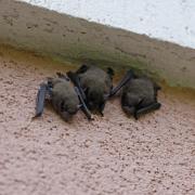 Pipistrelle commune (Pipistrellus pipistrellus)