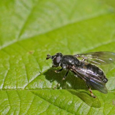 Eristale (Pipiza noctiluca)