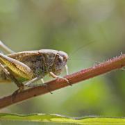 Decticelle chagrinée (Platycleis albopunctata) femelle