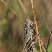 Decticelle chagrinée (Platycleis albopunctata)