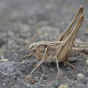 Decticelle carroyée (Platycleis tesselata) femelle