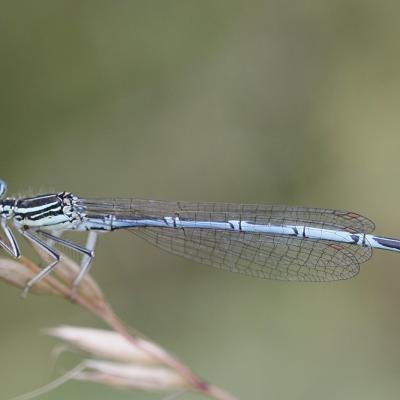 Agrion à larges pattes ou Pennipatte bleuâtre (Platycnemis pennipes)