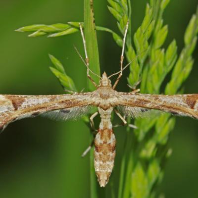 Le Ptérophore du pas d'âne (Platyptilia gonodactyla)