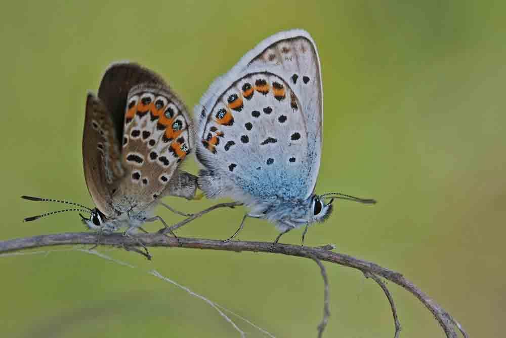 L'Azuré de l'ajonc ou Petit argus (Plebejus argus) couple.