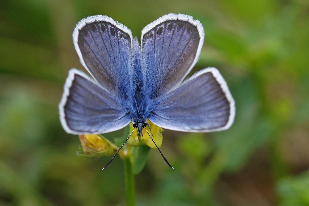 L'Azuré de l'ajonc ou Petit argus (Plebejus argus) mâle.