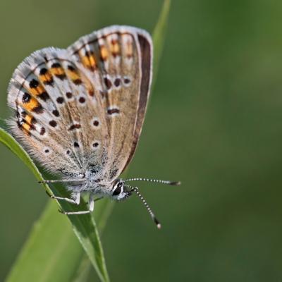 L'Azuré de l'ajonc ou Petit argus (Plebejus argus) femelle.