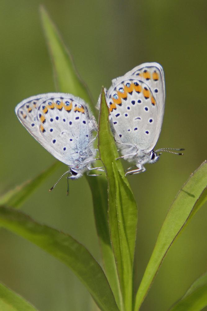 L'Azuré des coronilles (Plebejus argyrognomon ) couple.