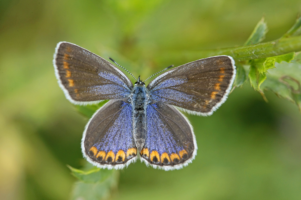 L'Azuré des coronilles (Plebejus argyrognomon ) femelle.