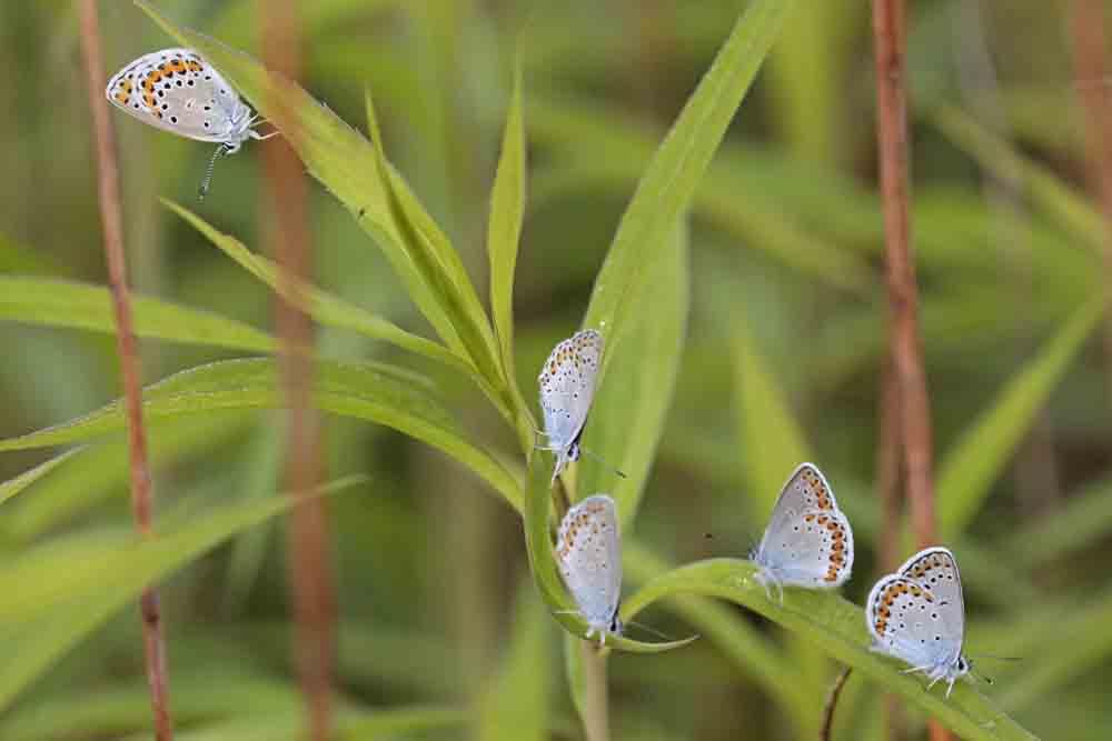 L'Azuré des coronilles (Plebejus argyrognomon )