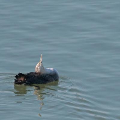 Plongeon catmarin (Gavia stellata)