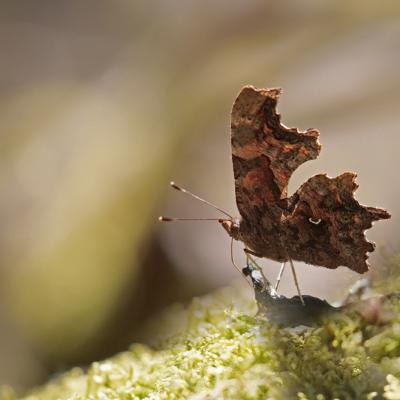 Robert le diable (Polygonia C- album )