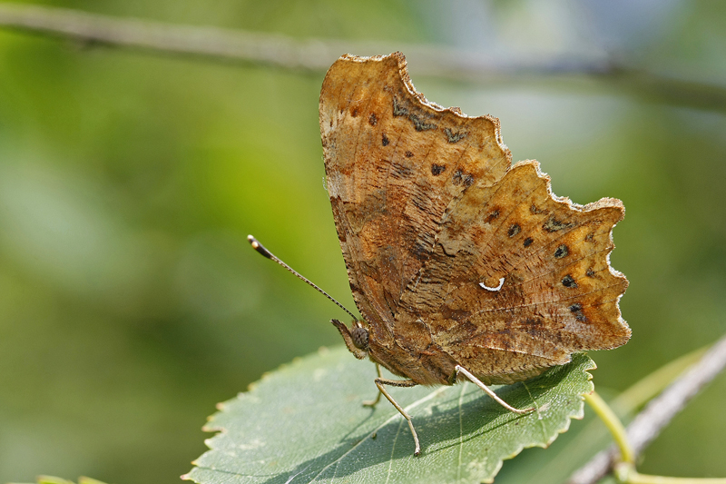 Robert le diable (Polygonia C album)
