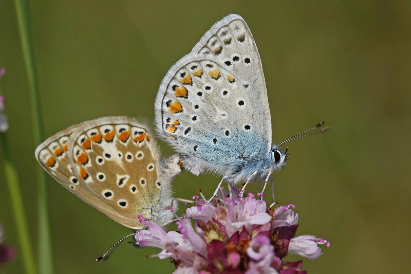 L'Azuré commun ou Azuré d'Icare (Polyommatus Icarus) couple.