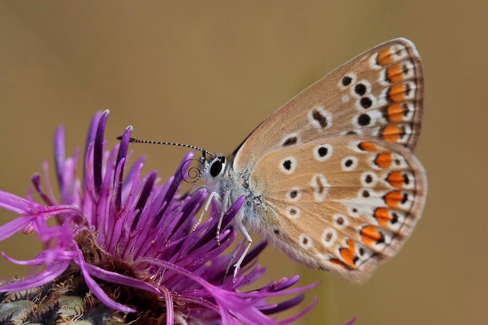 L'Azuré commun ou Azuré d'Icare (Polyommatus Icarus) femelle