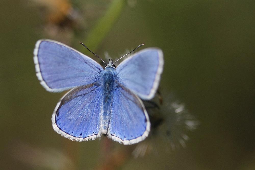 L'Azuré commun ou Azuré d'Icare (Polyommatus Icarus)
