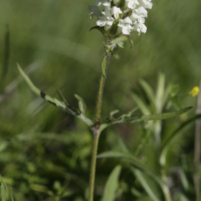 Brunelle blanche (Prunella lasciniata)