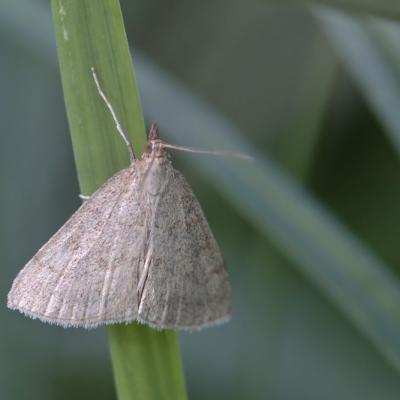 Le Botys poudreux (Psammotis pulveralis)