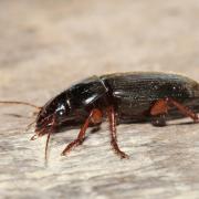 Carabe (Pseudoophonus rufipes)