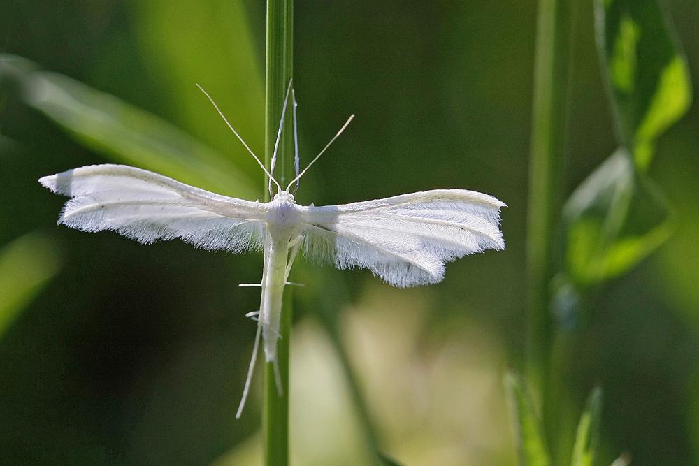 Le Ptérophore blanc (Pterophorus pentadactylus)