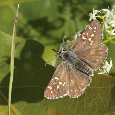 L'Hespérie du carthame (Pyrgus carthami)