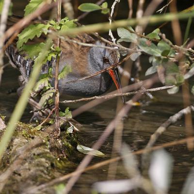 Rale d'eau  (Rallus aquaticus) adulte