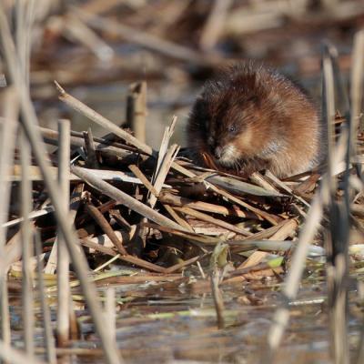 Rat musqué (Ondatra zibethica)