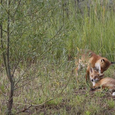 Renard roux  (Vulpes vulpes) couple