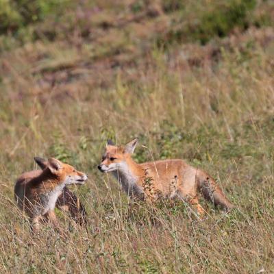 Renard roux  (Vulpes vulpes) jeunes