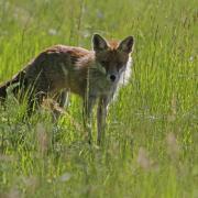 Renard roux  (Vulpes vulpes) femelle