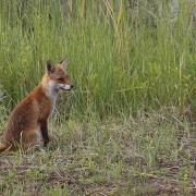 Renard roux  (Vulpes vulpes)