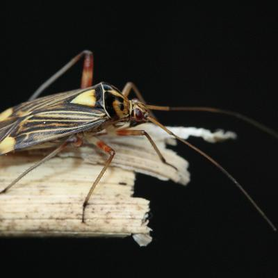 Rhabdomiris striatellus
