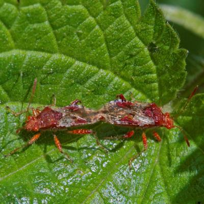 Rhopalus subrufus cple