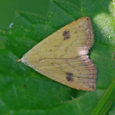 La  Soyeuse (Rivula sericealis)