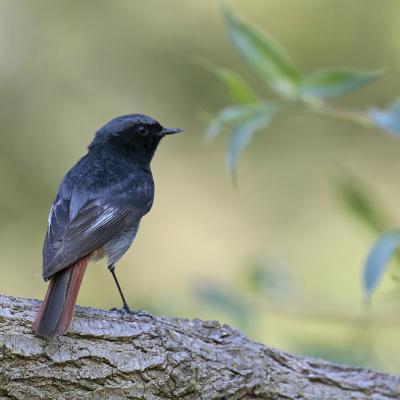 Rougequeue noir mâle (Phoenicurs ochruros)