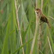 Rousserolle effarvatte ( Acrocephalus scirpaceus)