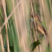 Rousserolle effarvatte (Acrocephalus scirpaceus)