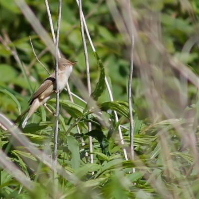 Rousserolle verderolle  (Acrocephalus palustris)