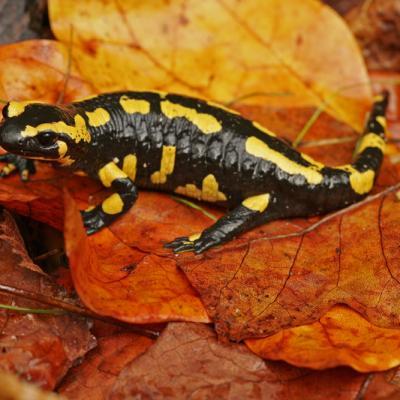 Salamandre tachetée (Salamandra salamandra)