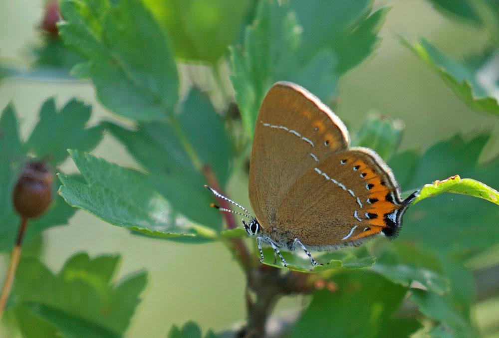 Thécla du prunier (Satyrium pruni)
