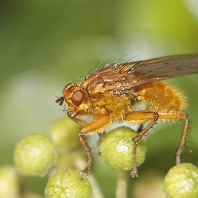Scatophage du fumier (Scatophaga stercoraria)