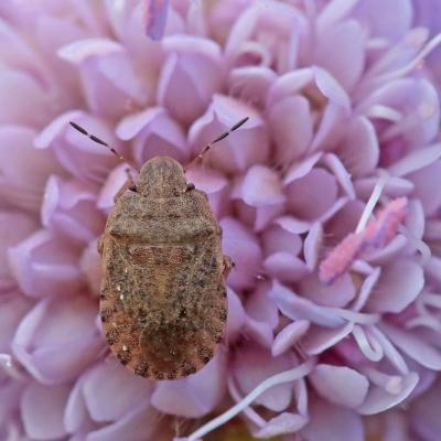 Sciocoris microphtalmus