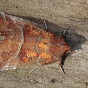 La Découpure (Scoliopteryx libatrix)