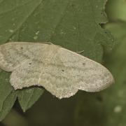 L' Acidalie étrille (Scopula nigropunctata)