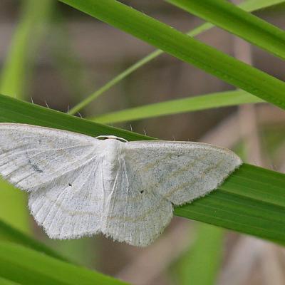 L' Acidalie virginale (Scopula subpunctaria)