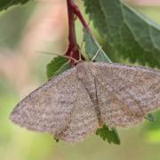 L'Acidalie striée (Scopula virgulata)