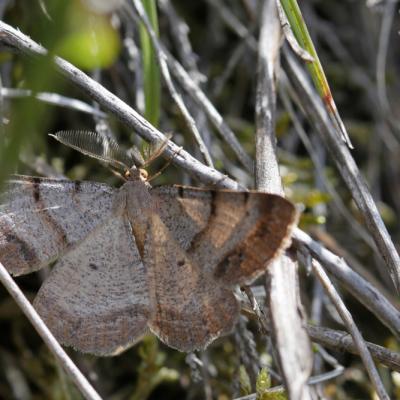 La Boarmie brune (Selidosema brunnearia)