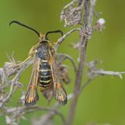 Sésie ichneumon (Bembecia ichneumoniformis)